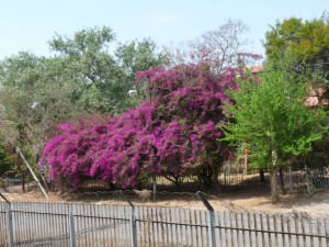 Jacaranda Tree in Pretoria