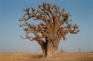 Baobab Tree – Copyright Wikipedia Commons